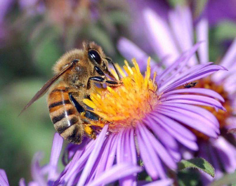 Мед By John Severns = Severnjc (Photo by John Severns.) [Public domain], via Wikimedia Commons https://commons.wikimedia.org/wiki/File%3AEuropean_honey_bee_extracts_nectar.jpg