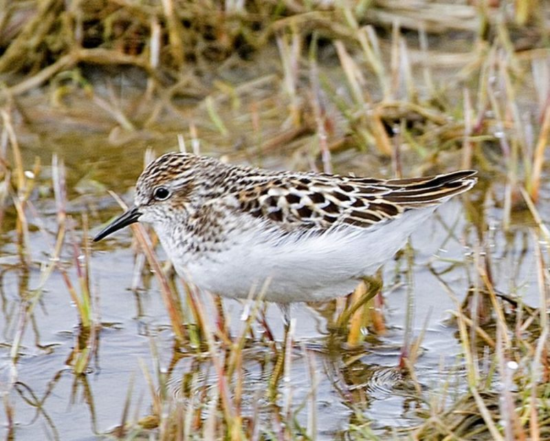 Кулик и вода By Donna Dewhurst, USFWS [Public domain]_Wikimedia_Commons_https://commons.wikimedia.org/wiki/File%3ALeast_Sandpiper.jpg