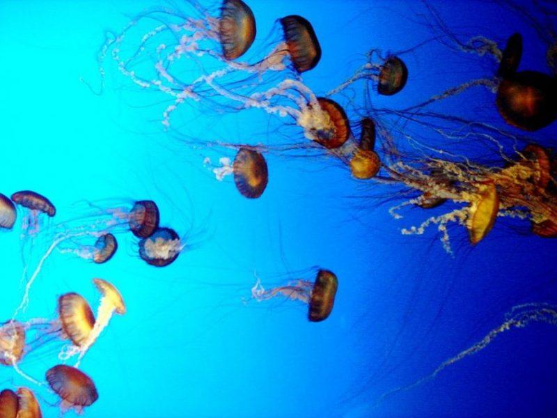 Морские медузы